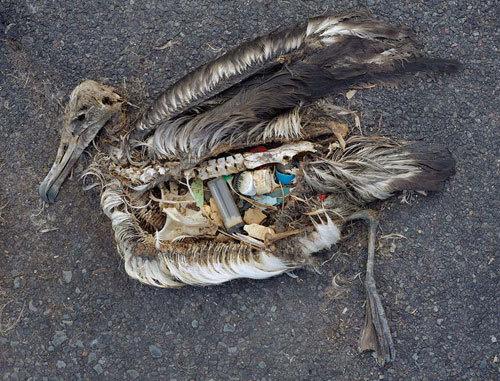 verendete Möwe mit Müll im Bauch