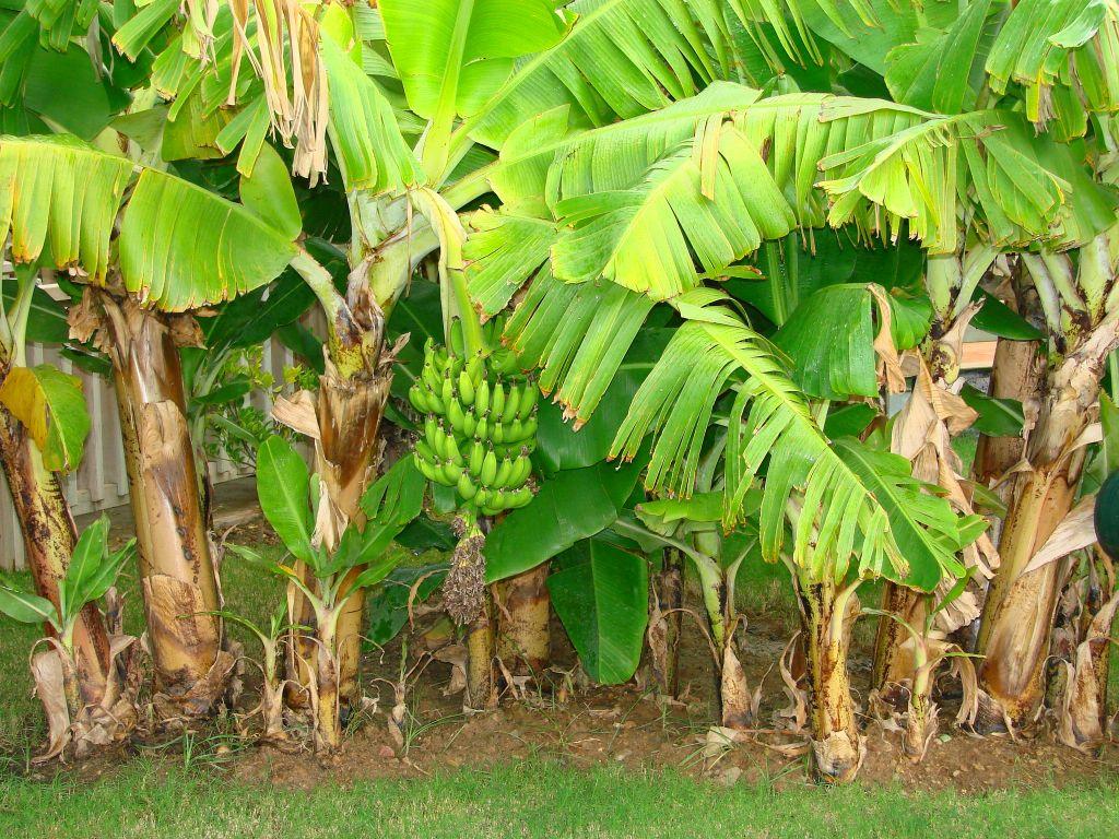 Bananenstauden lilli green 174 magazin f 252 r nachhaltiges design und