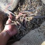 Die Gerbstoffe stammen aus der Rinde des in Indien heimischen Babool tree