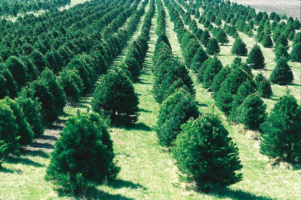 Weihnachtsbaum Zuechtung Monokultur