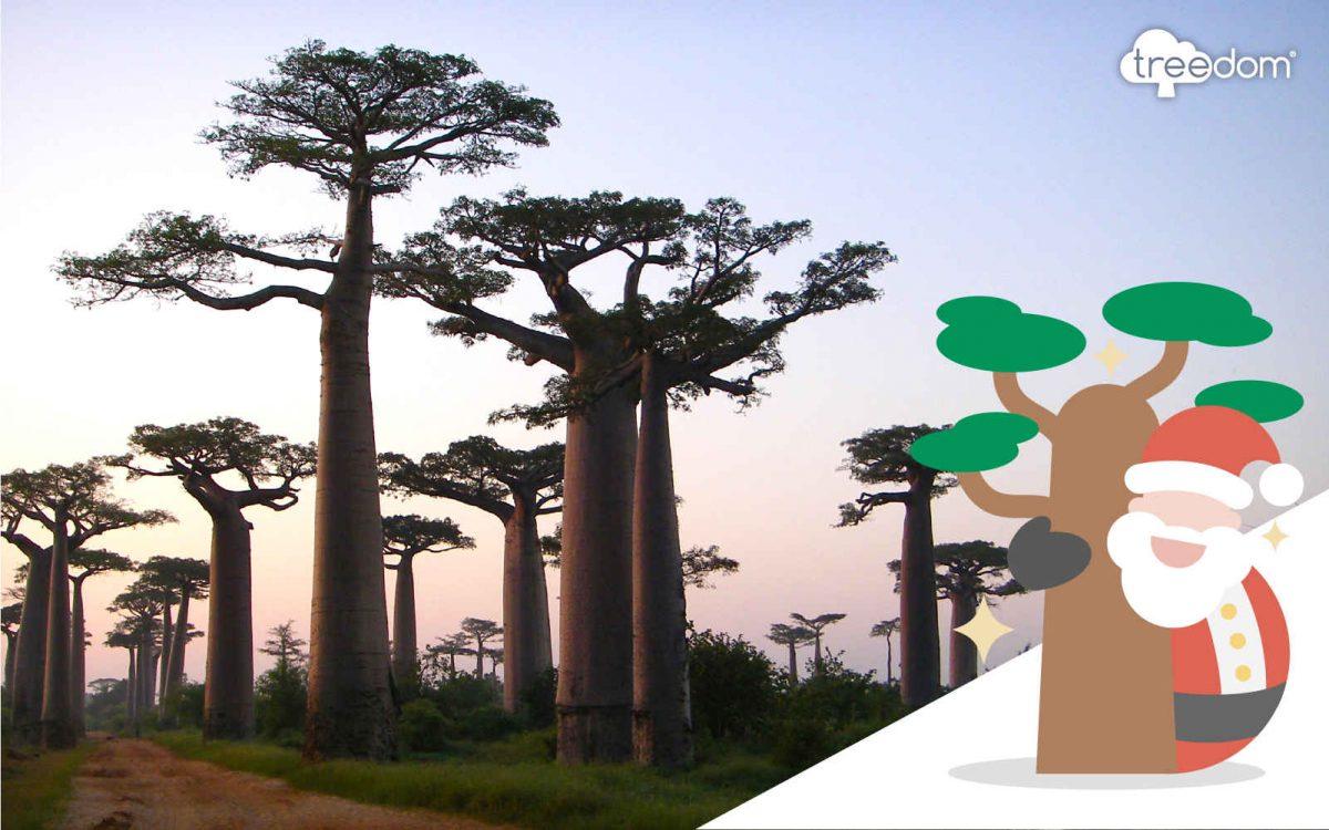 Baobab Baum als Weihnachtsgeschenk