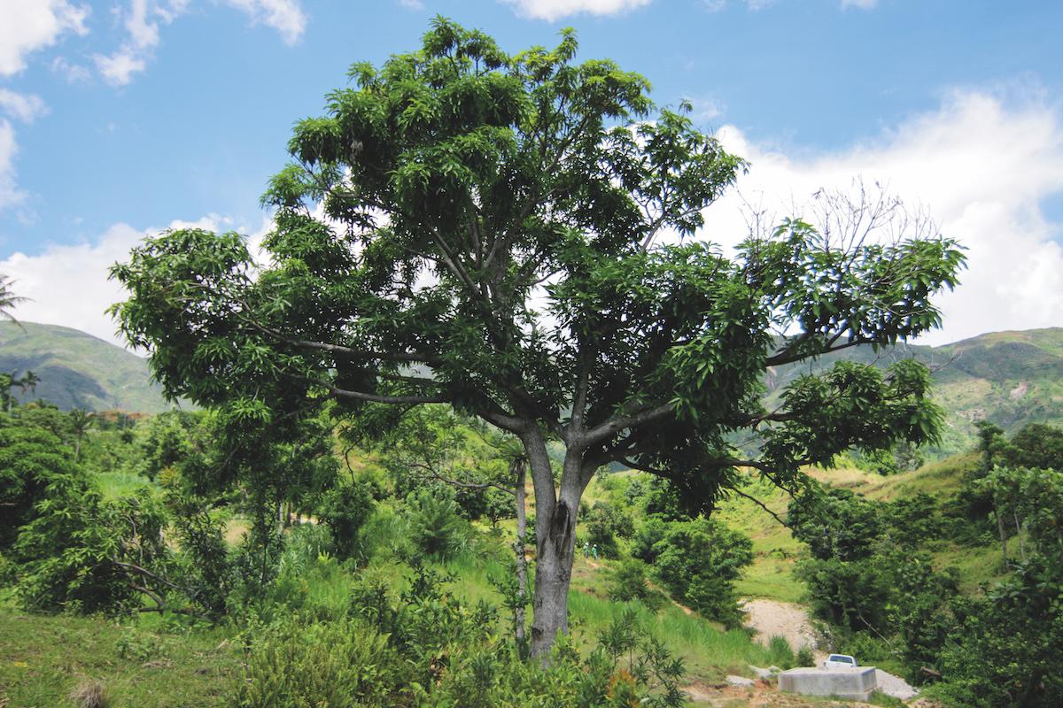 CO2-Kompensation von treedom - Mangobaum in Kenya