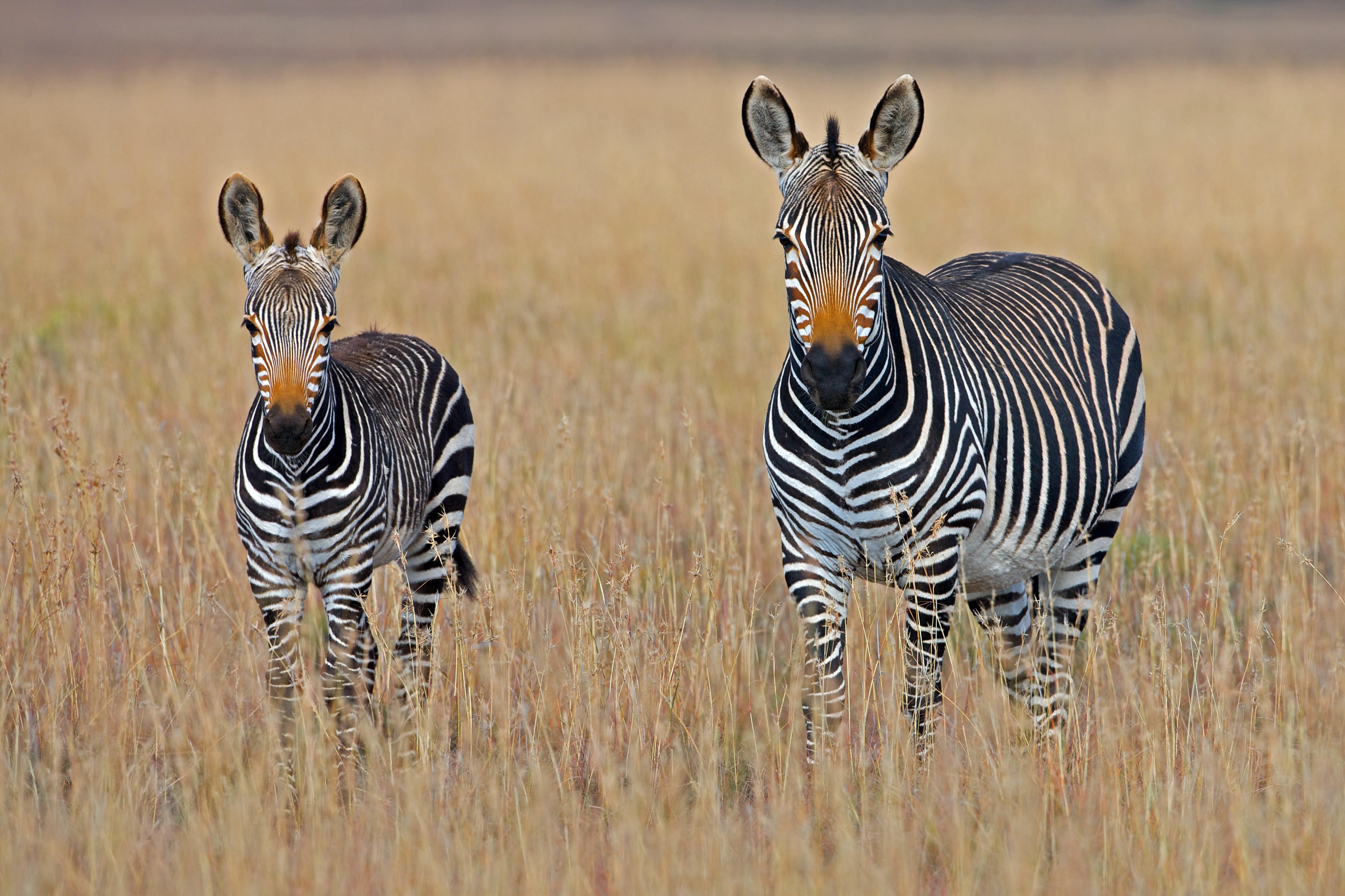 Naturschutz und Tierschutz im Urlaub - Zebras in Suedafrika