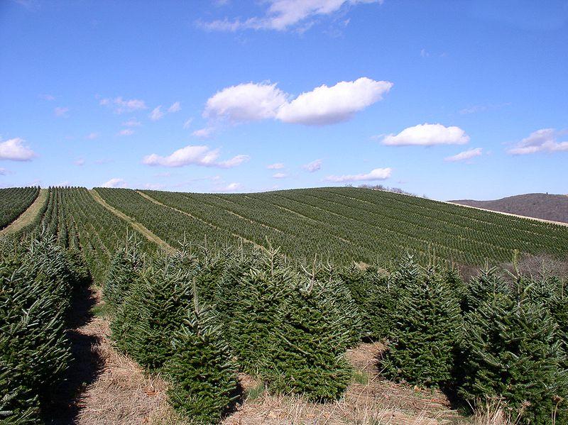Konventionelle Weihnachtsbaueme - ist ein oekologischer Weihnachtsbaum nachhaltiger?